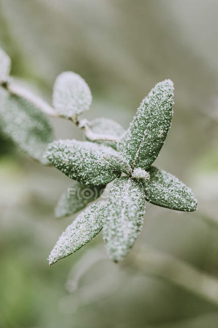 Leaves of rose shrub covered with frost, close-up — Stock Photo