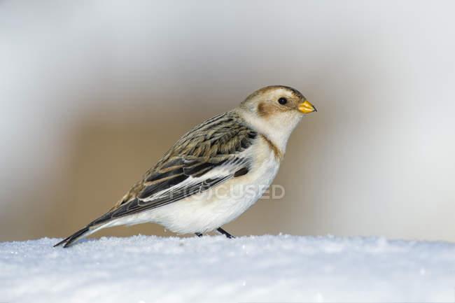 Портрет снежной овсянки зимой — стоковое фото