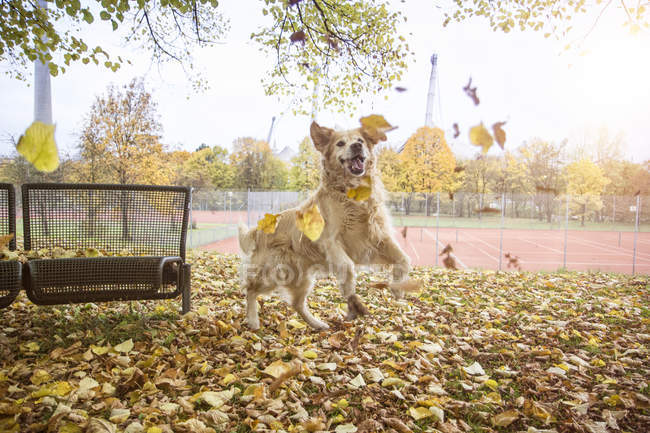 Golden Retriever playing with autumn leaves — Stock Photo