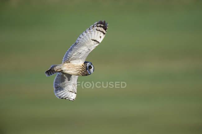 Flying Short-eared owl — стоковое фото