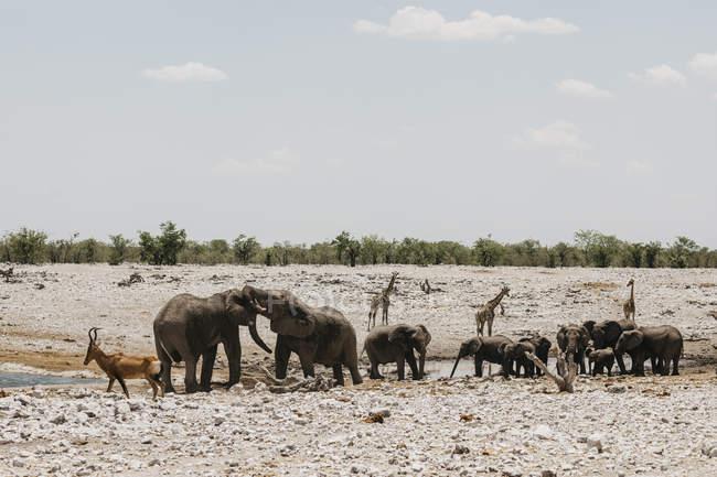 Нобия, национальный парк Этоша, слоны, пружингбоксы и жирафы у водопада — стоковое фото