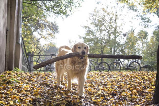 Golden Retriever holen Big Stick im Herbst — Stockfoto