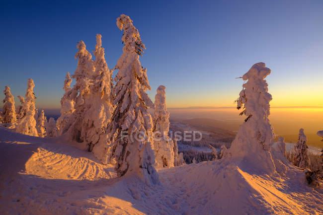 Германия, Бавария, Баварский лес зимой, Грейт-Арбер, Арбермандл, заснеженные ели на закате — стоковое фото
