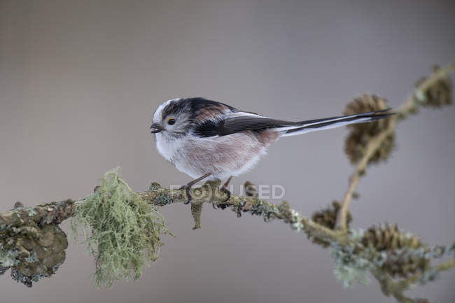 Long-tailed Tit on twig — Photo de stock