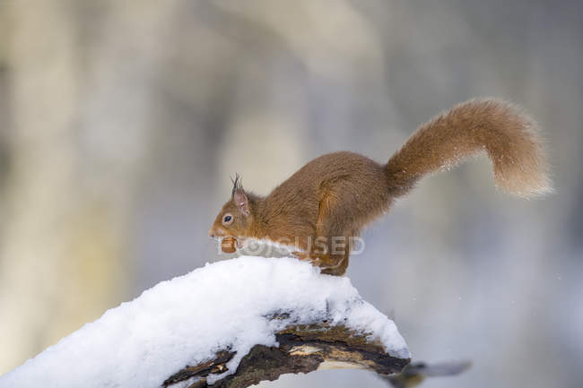 Eurasian red squirrel with nut on snow-covered tree trunk — Stock Photo