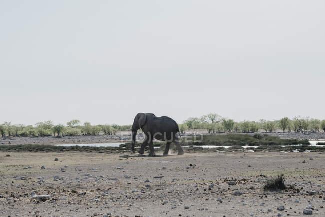 Нибиа, национальный парк Этоша, африканский слон у водоносной скважины — стоковое фото
