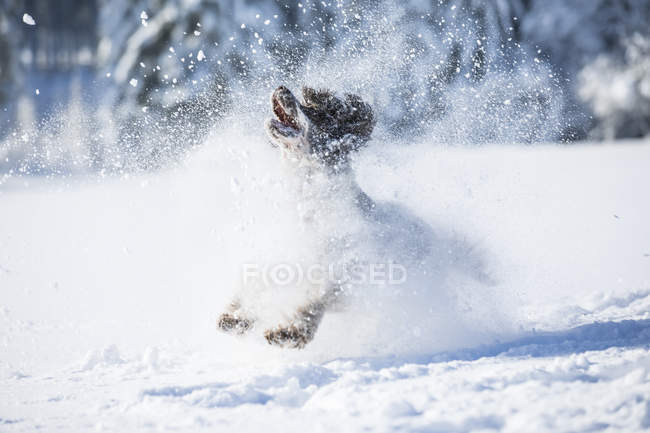 English Springer Spaniel running on snow-covered meadow — Stock Photo