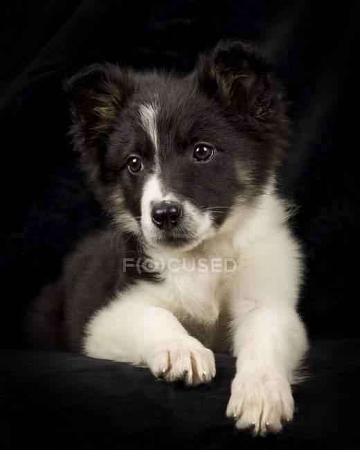Портрет щенка Бордер Колли на черном фоне — стоковое фото