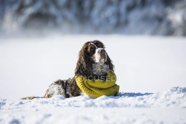 Springer Spaniel inglés con bufanda amarilla en el prado cubierto de nieve - foto de stock