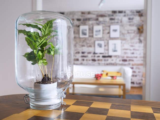Microclimat, plante de café sous verre, eau, recyclé, biotope en verre — Photo de stock