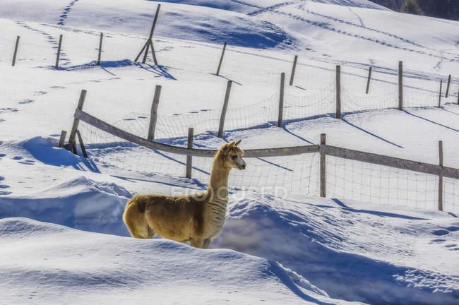 Austria, Tyrol, Tannheim Valley, lama — Stock Photo