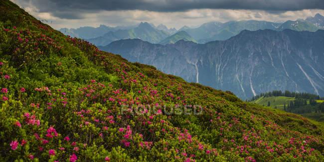Germany, Bavaria, Allgaeu, Allgaeu Alps, View from Fellhorn to Hoefats, flowering alpine roses — Stock Photo