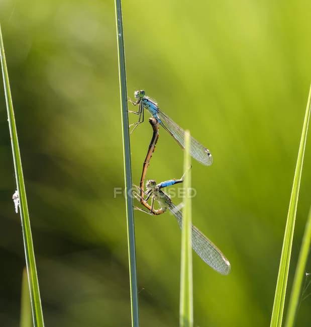 Zwei paarende Blauschwanzlibellen vor grünem Hintergrund — Stockfoto