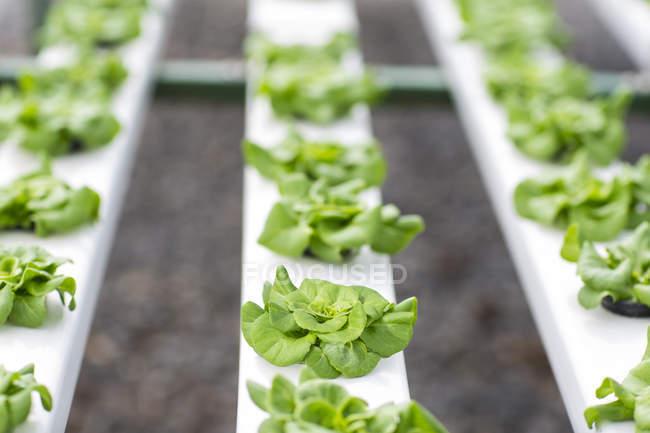 Gemüse im Gewächshaus wachsen — Stockfoto