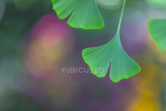 Feuilles de Ginkgo vert, gros plan — Photo de stock