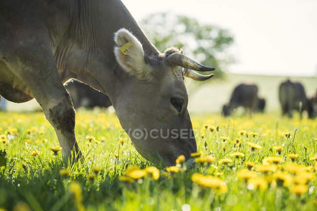 Vaches broutant dans un pré avec pissenlits — Photo de stock