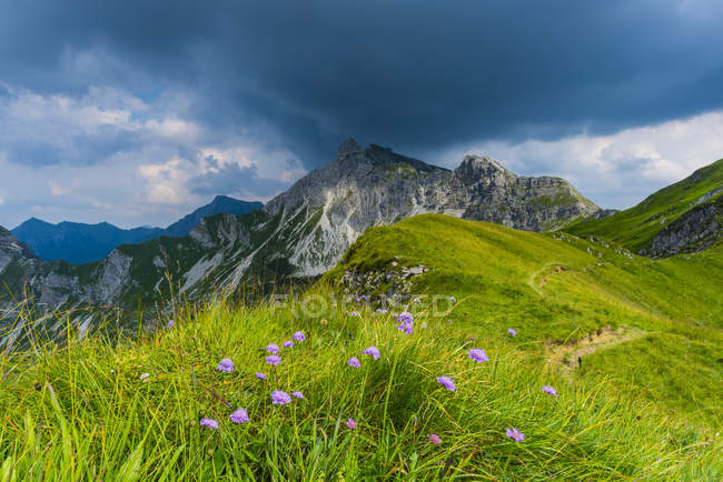 Germany, Bavaria, Allgaeu, Allgaeu Alps, Armeria alpina flowers — Stock Photo