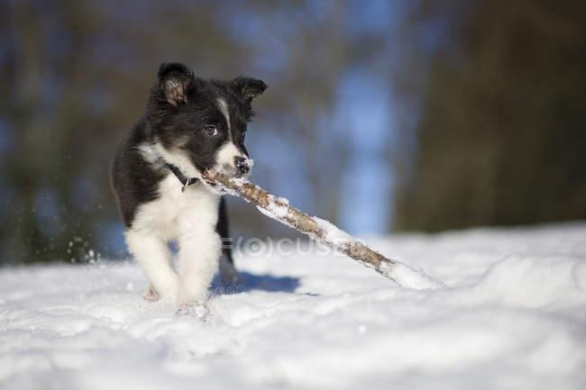 Щенок Бордер Колли играет деревянной палкой в снегу — стоковое фото
