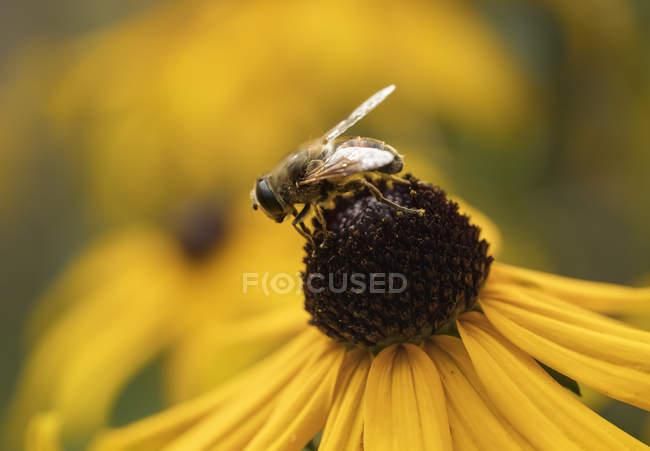 Drohne fliegen,Eristalis tenax, auf Kegelblume — Stockfoto