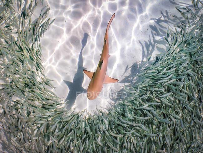 Maledives, Indian Ocean, baby black-tipped reef shark (Carcharhinus melanopterus) серед риб. — стокове фото