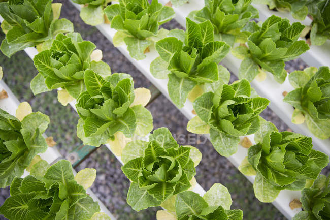 Hortalizas en invernadero - foto de stock