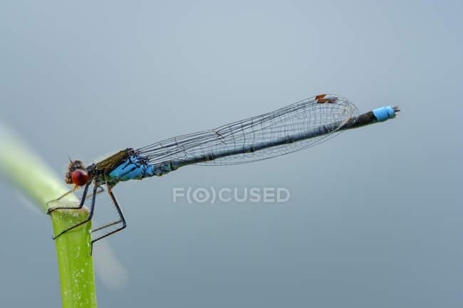 Männlich rotäugig damselfly vor blauem Hintergrund — Stockfoto