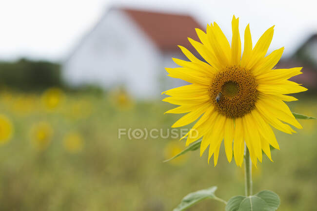 Sunflower with foraging bee and house in the background — Stock Photo