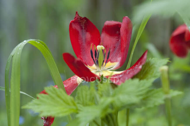 Rainy weather in spring, withered tulip, close-up — Stock Photo