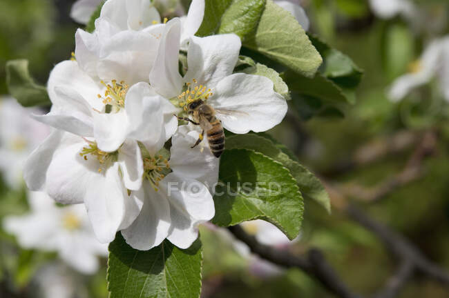 Bee on an apple blossom, Bavaria, Germany — Stock Photo