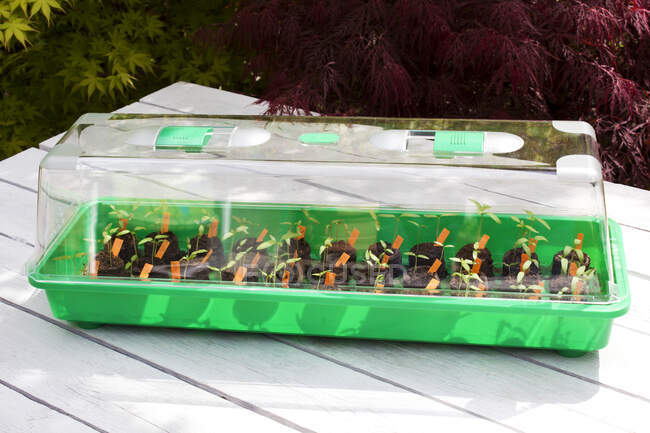 Plántulas de tomate en mini invernadero - foto de stock