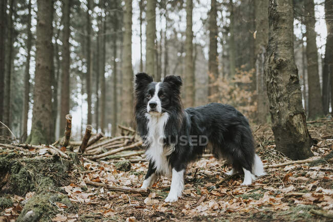Border Collie in the forest — Stock Photo