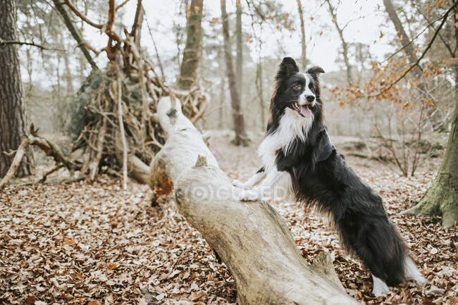 Border Collie standing on trunk in the forest — Stock Photo