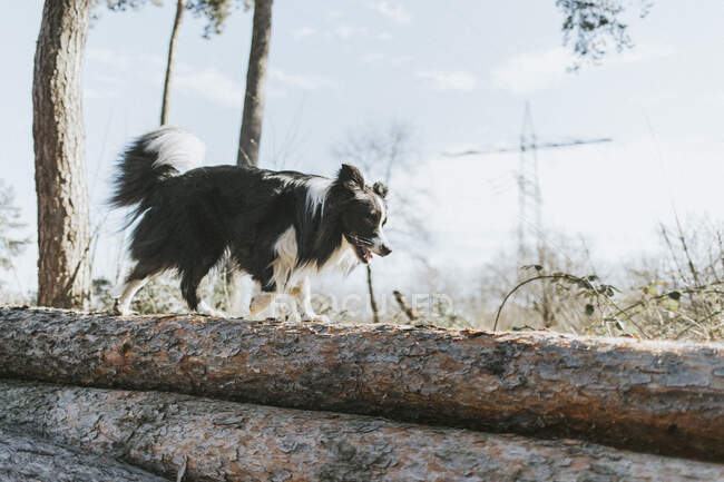 Border Collie walking on tree log in the forest — Stock Photo