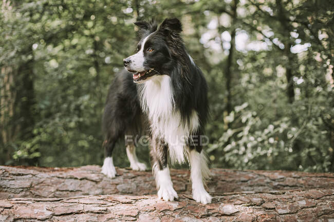 Border Collie on tree log in the forest — Stock Photo