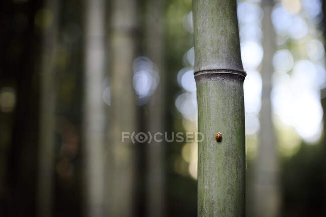 Closeup of Ladybird on bamboo — Stock Photo