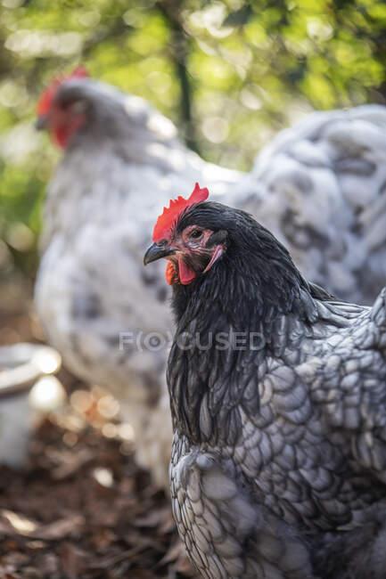 Portrait of Orpington hen — Stock Photo