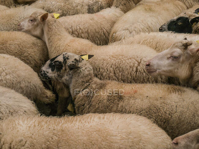 Flock of sheep at farm — Stock Photo