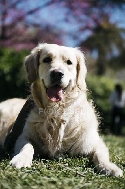 Portrait of Labrador Retriever lying on  meadow of a park — Stock Photo