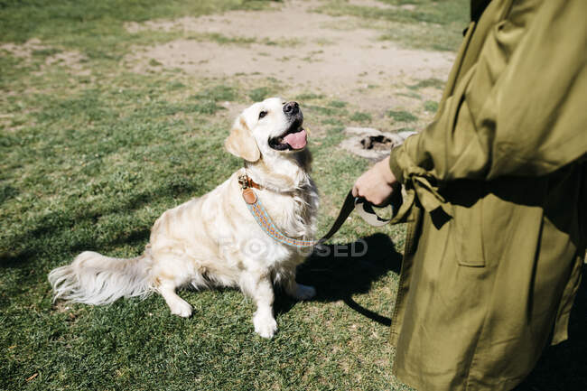 Labrador Retriever sitting on a meadow paying attention to owner — Stock Photo