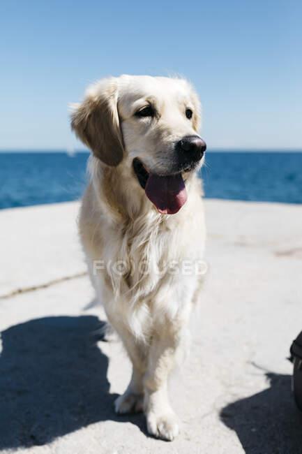 Portrait of Labrador Retriever in front of the sea — Stock Photo
