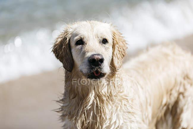 Portrait of wet Labrador Retriever on the beach — Stock Photo