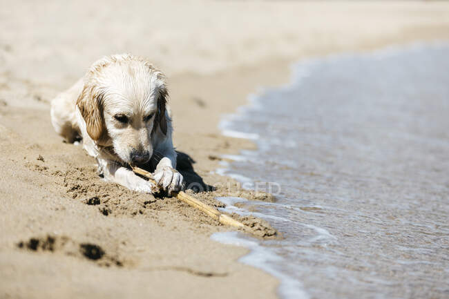 Labrador Retriever lying on the beach at seashore playing with stick — Stock Photo