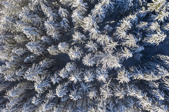 Germany, Upper Bavaria, Dietramaszell, Aerial view of pine forest in winter — Stock Photo