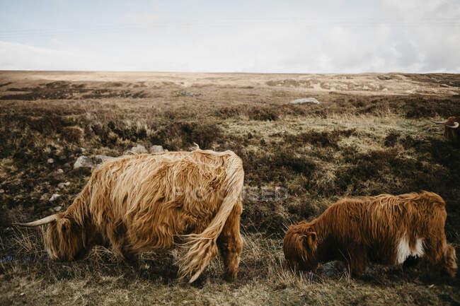 Royaume-Uni, Écosse, Highland, bovins à longues cornes dans les pâturages — Photo de stock