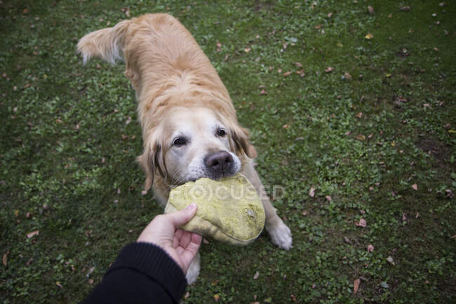 Dog owner playing with Golden Retriever — Stock Photo