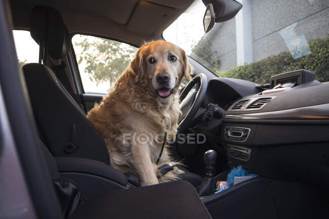 Golden Retriever sitting on driver's seat of a car — Stock Photo