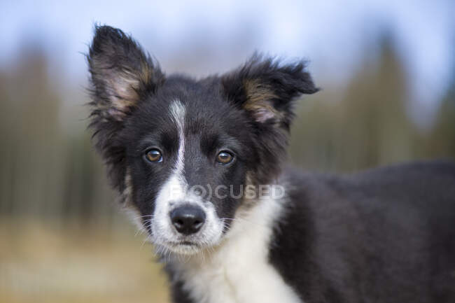 Portrait of Border Collie puppy — Stock Photo