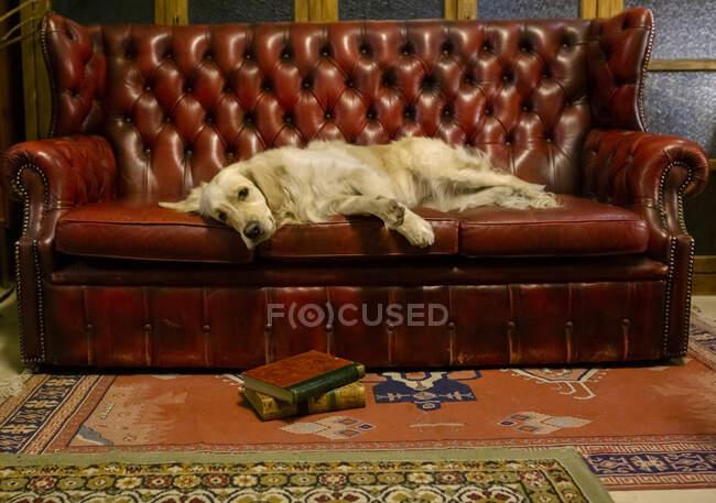 Golden retriever dog resting on an antique sofa — Stock Photo