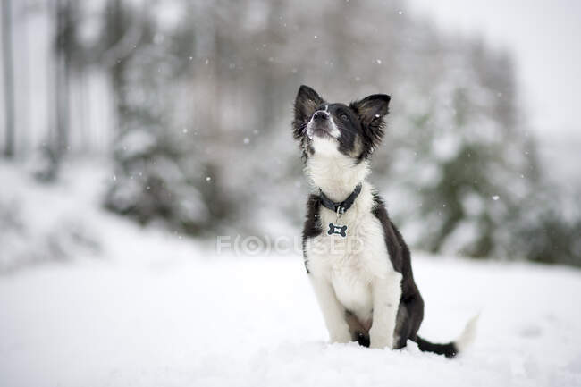 Border Collie puppy watching snowfall — Stock Photo
