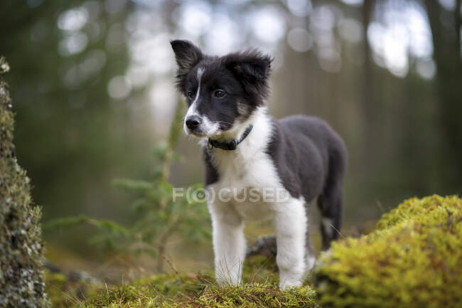 Portrait of Border Collie puppy in the woods — Stock Photo